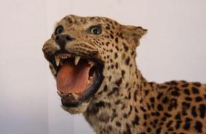 Die Ausstellung der Tierpräparate aus dem ehemaligen Missionsmuseum ist ein Publikumsmagnet.
