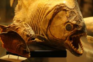 Fische und mehr: Im Knechtstedener Kreuzgang sind jetzt Tierpräparate des früheren Missionsmuseums zu sehen.